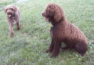 Two dogs with long, thick, wavy coats - The left side of a brown with white Spanish Water Dog that is sitting on grass, its mouth is open, its tongue is sticking out and it is looking to the left. There is another tan with white Spanish Water Dog walking down a grass surface, its mouth is open and its tongue is out.