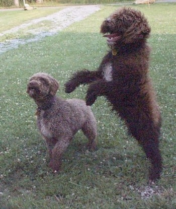 A brown with white Spanish Water Dog is standing up on its hind legs and it is looking to the left. There is a tan with white Spanish Water Dog next to it that is standing on the grass surface with one paw in the air.
