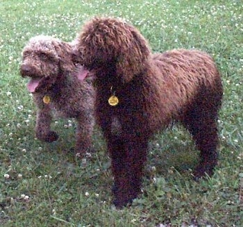Two Spanish Water Dogs are standing on a grass surface, they are looking to the left and they are both panting. They have thick curly fur.