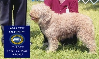 Spanish Water Dog Breed Pictures 3