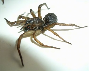 Right Profile - Wolf Spider
