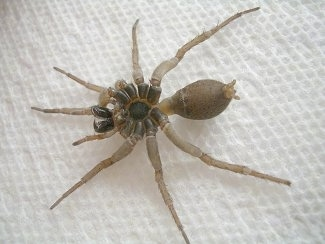 Wolf Spider on a white paper towel surface