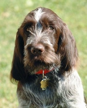 Close up head and upper body shot - A grey with brown Spinone Italiano is sitting on grass and it is looking forward. It has longer hair on its ears and snout.