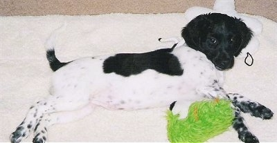 A black and white Stabyhoun puppy is laying on its left side and it is on top of a blanket. It is looking up and there is a green plush doll under it.