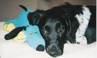 Close up head shot - A black and white Stabyhoun puppy is laying down across a bed and in front of it is a blue with yellow plush doll toy.
