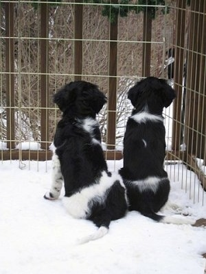 The back of two black and white Stabyhoun puppies that are sitting in snow looking out of a fence into the woods.