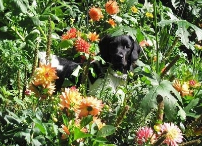 A black and white Stabyhoun is standing in a Dahlia bush and it is looking forward. It is surrounded by yellow, orange and pink flowers.