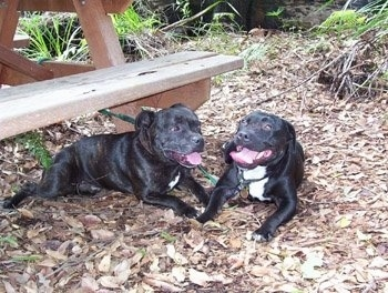 Two shiny black with white Staffordshire Bull Terriers are laying across a heavily leaved surface. Next to them is a wooden bench. Both of there mouths are open and tongues are out.