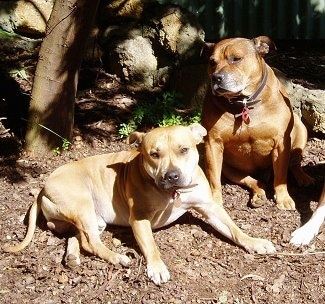 Two dogs, a tan Staffordshire Bull Terrier is laying across a dirt surface under a tree and to the right of it is a sitting red Staffordshire Bull Terrier that is looking to the left. Both dogs are wide with a lot of muscles.