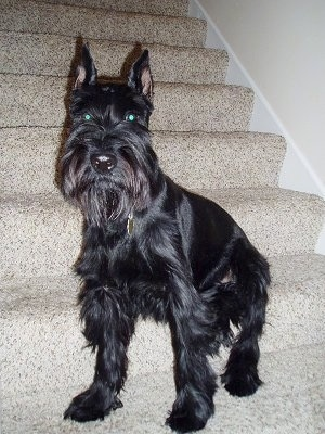 Spike the Standard Schnauzer at 2½ years old on his lookout post