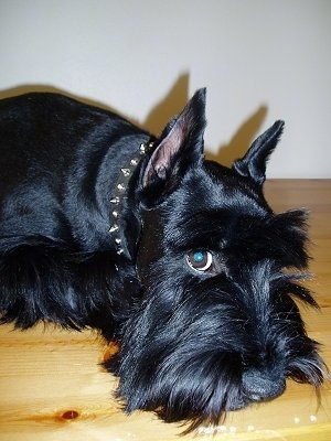 Close up side view head and upper body shot - A black Standard Schnauzer dog laying down on a table looking forward.