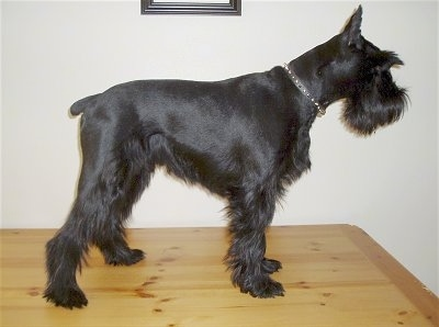 Right Profile - A shaved black Standard Schnauzer dog standing on a table looking to the right. The dog has longer hair on its muzzle, under belly and legs, It has pointy cropped ears.