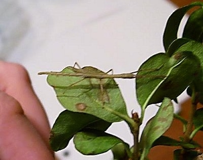 A Stick insect is standing across a plant. There is a hand under the plant.