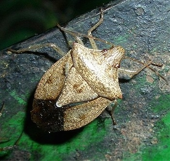 Stink Bug on a metal surface