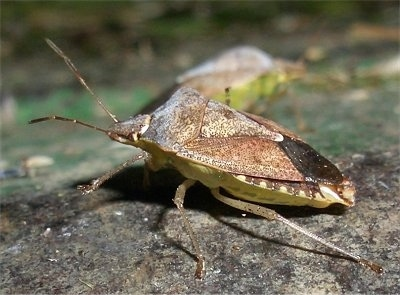 Right Profile - Stink Bug