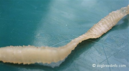 Tapeworm Pictures and Photos, Tapeworm Pics, Tapeworm Images