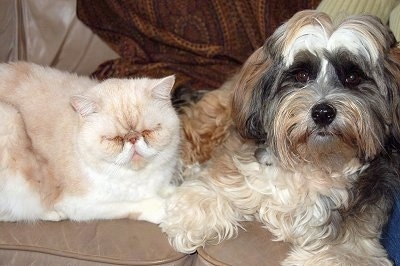 Phoebe, the Tibetan Terrier with her Persian sibling