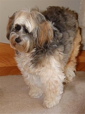 A fluffy, tan with black and brown Tibetan Terrier that is standing on a carpet.
