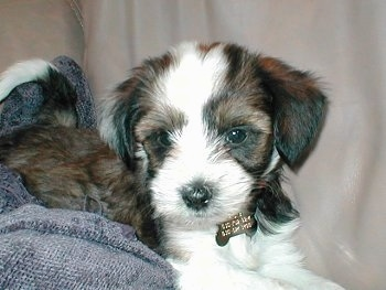 The left side of a fussy little white and gray with black Tibetan Terrier puppy that is laying across a couch and it is looking forward.