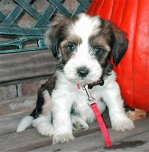 Close up - A fuzzy black, brown and white Tibetan Terrier puppy is wearing a red leash sitting on a wooden bench next to a deep orange pumpkin.