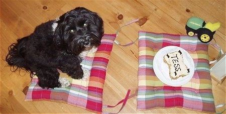 Top down view of a black with white Tibetan Terrier that is sitting on a pillow and it is looking up. Across from it is a pillow with a cake shaped like a bone on a plate. On top of the sandwich is the word - Tess. The dogs eyes are glowing yellow.