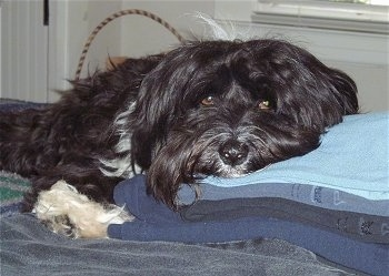 A black with white Tibetan Terrier is laying across a blanket and its head is on top of a stack of blankets. It has a black nose and brown eyes.