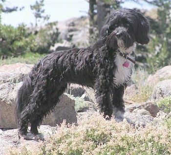 The right side of a black with white Tibetan Terrier dog standing across a couple of rocks and it is looking forward. The dogs coat is shaved short and is thick and wavy.