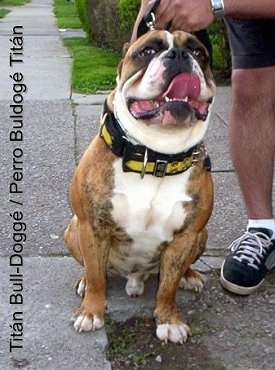 A wide, muscular brindle with white Titán Bull-Doggé is sitting on wet sidewalk, it is panting, it is looking up and forward. There is a person holding its collar standing to the right of it. The words - Titán Bull-Doggé/ Perro BulDoggé Titán - are overlayed along the left side of the image.