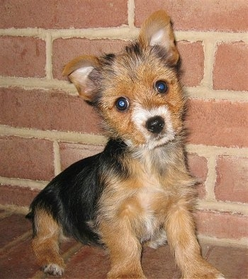Bailey, the female Torkie at 2 � months. Her mother was a Yorkie and her father was a Toy Fox Terrier