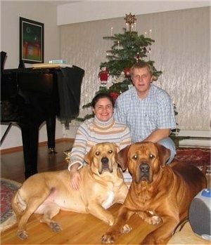 A lady and a man are kneeling behind two huge Tosa dogs that are laying across a hardwood surface. To the left of them is a piano and behind them is a Christmas tree.