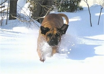 Front view action shot - A large breed, tan with black Tosa dog running down a snowy surface and it is looking forward. Its big drop ears are flapping around.