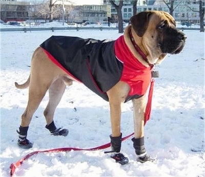 The front right side of a tan with white and black Tosa dog wearing a black and red jacket. It is standing across a snowy field.