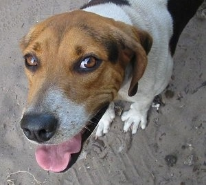 Top down view of a white with black and brown Treeing Walker Coonhound that is standing on a beach, it is looking up, its mouth is open and its tongue is out. The dog has brown almond-shaped eyes, a black nose and soft ears that hang down to the sides.