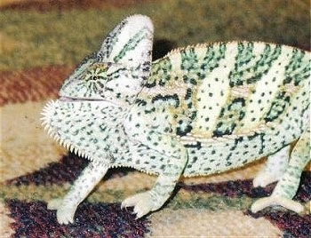 Close up side view - A Veiled Chameleon is standing on a rug and looking to the left. His mouth is slightly open.