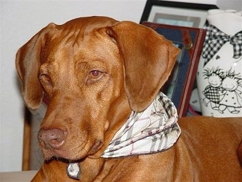 Close up - The front left side of a red Vizsla that is laying on a carpet. It is wearing a plaid bandana, it is looking down and to the left.