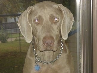 Close up - A Weimaraner is sitting in front of a window and it is looking forward. The dog his wearing a choke chain collar