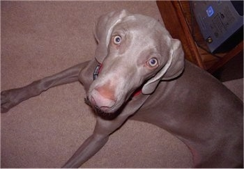 Topdown view of a Weimaraner that is laying across a carpeted floor and it is looking up. The dog has a long snout with a big light brown nose and long wide ears that hang down.