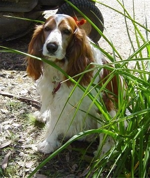 A white and brown Welsh Springer Spaniel dog that is sitting on a grassy surface and it is looking forward. There is a bush in front of it and behind it is a tractor. The dog has long drop ears with long wavy fur on them and a black nose.