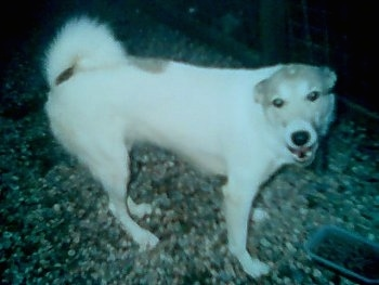 The front right side of a white with brown Siberian Laika that is standing across a rocky surface. It is looking forward and its mouth is open. Its ears are pinned back.