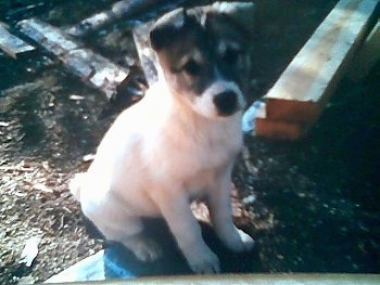 West Siberian Laika puppy