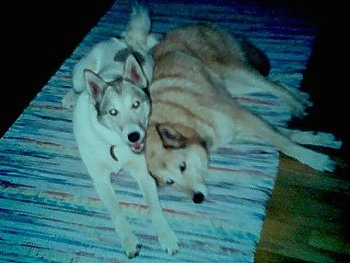 Two Siberian Laikas are laying next to each other on a rug. The leftmost Laika has its mouth open and it looks like it is smiling. One dog is tan and the other is white.
