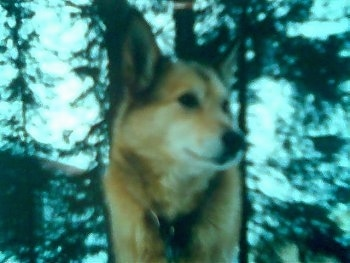 Close up front view head shot - A tan with black and white West Siberian Laika dog is standing outside in the woods and looking to the right. It has a black nose and perk ears.