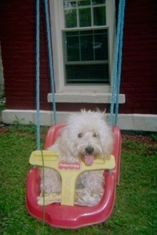 A white Westiepoo that is sitting in a baby swing, its mouth is open and tongue is out. It has thick long hair, a dark nose and dark round eyes.