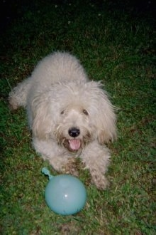 A thick wavy coated tan Westiepoo dog is laying in grass, its mouth is open and tongue is out. There is a blue balloon on the grass in front of it.