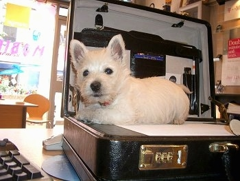 The left side of a Westie small puppy that is laying across a brown leather briefcase next to a computer keyboard.