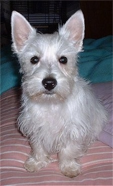 A West Highland White Terrier puppy is sitting on a bed and it is looking forward. It has pointy perk ears, a big black nose and wide round dark eyes.