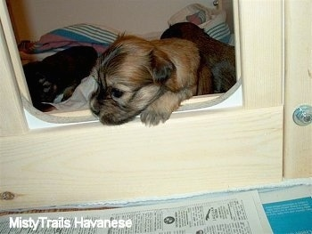 Close up - A newborn puppy climbing onto a whelping box doorway.
