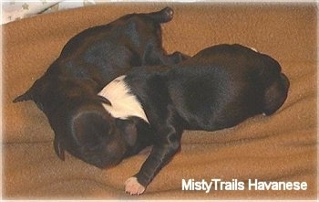 Two black newborn puppies are laying down on a brown blanket.