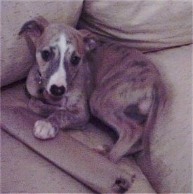 The left side of a brown with white Whippet puppy laying in the corner of a couch and it is looking forward.