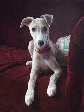 A tan with white Whippet puppy is laying on the edge of a red couch and it is looking forward. It has long front legs.